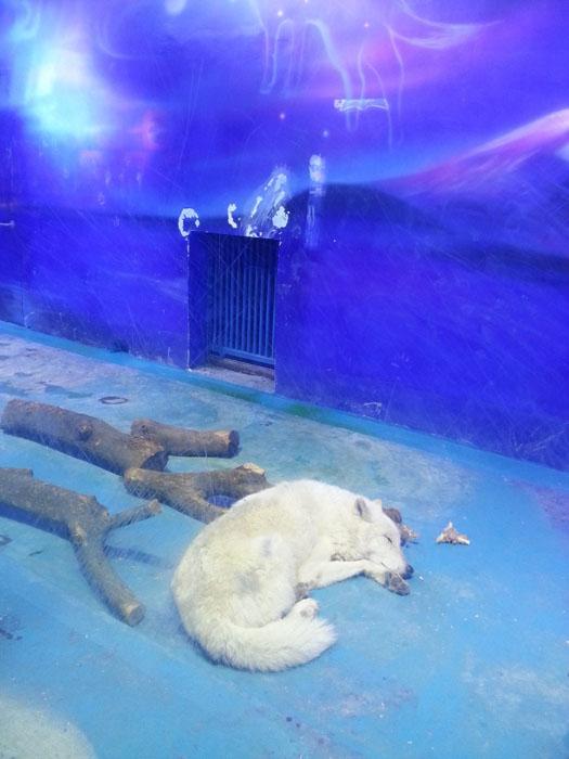 Песец, находящийся в своей клетке зоопарка Grandview.