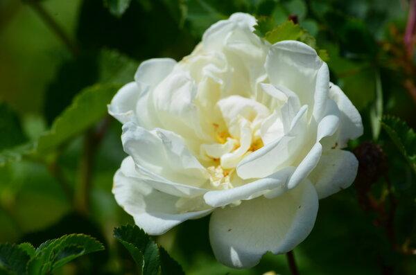 Чем подкормить розу осенью. …