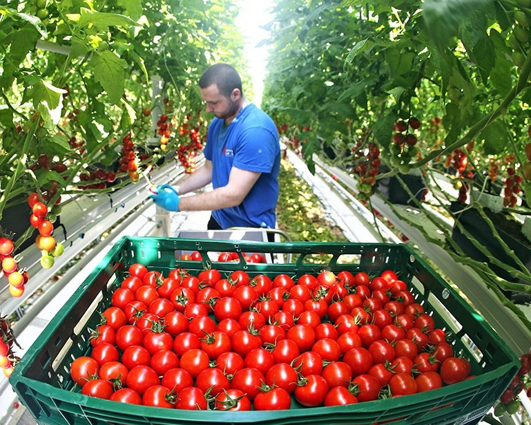 Минсельхоз России: на 1 ноября сбор тепличных овощей вырос на 24,7%