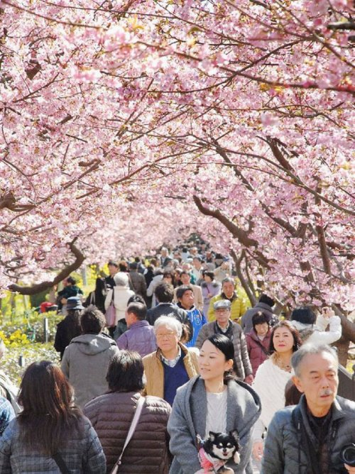 В японском городе Кавадзу зацвела сакура