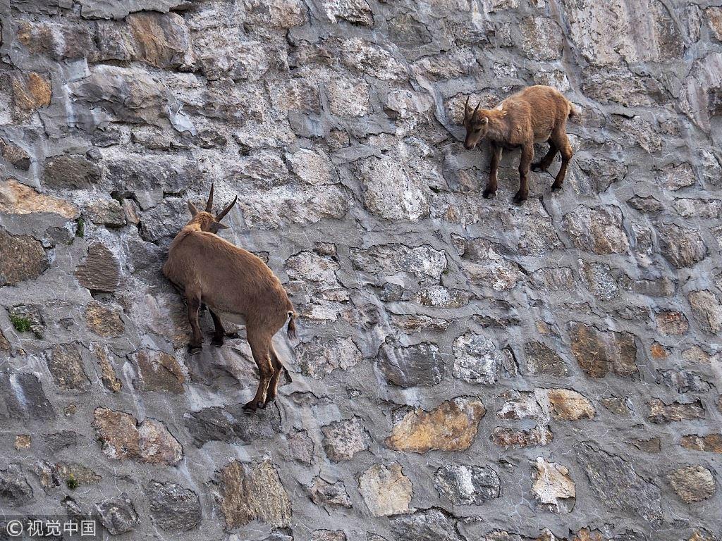 Итальянские козы, которые пл…