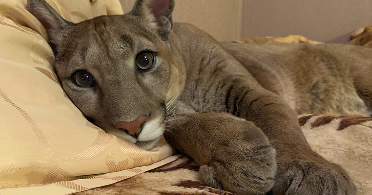 Russian Couple Rescue Puma From A Zoo And Raise It As A Domestic Cat