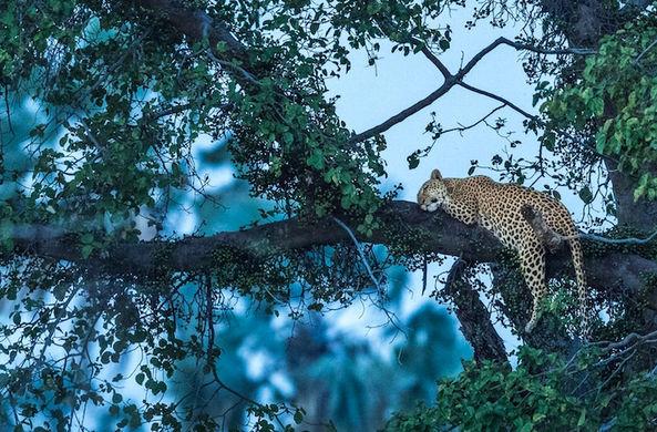 Неуловимый леопард по кличке Призрак не сумел скрыться от фотографа