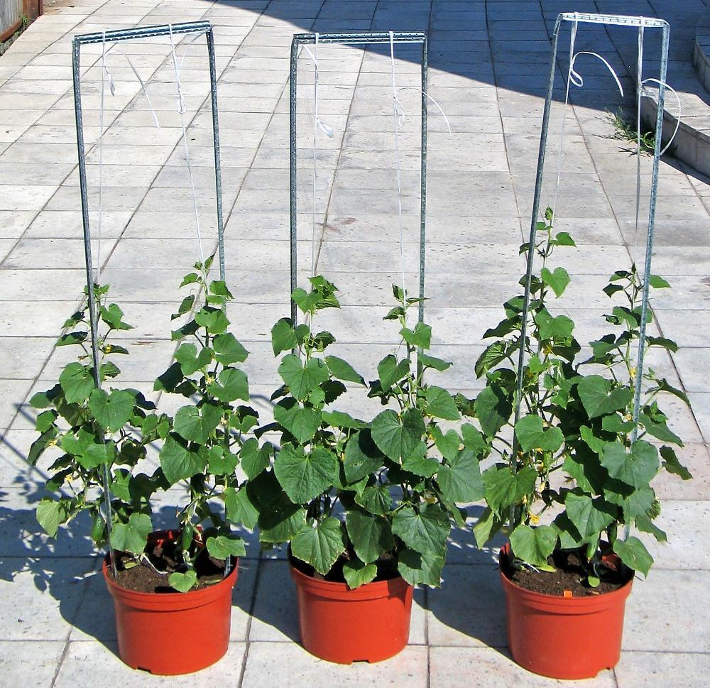 Выращивание огурцов зимой в теплице: рекомендации садоводов 20