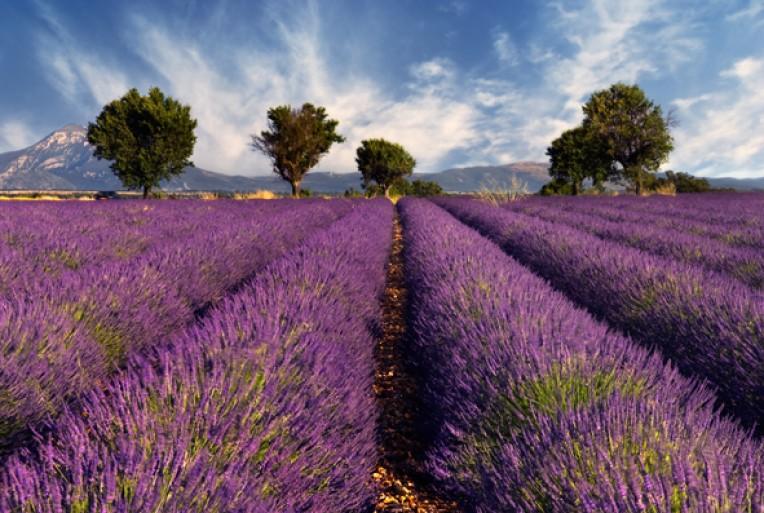 Прованские травы: восхитительные пейзажи, которые можно увидеть всего два месяца в году