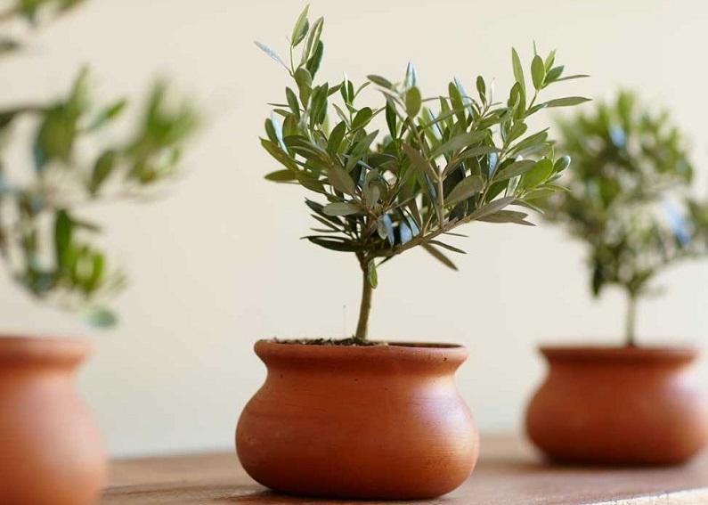 Горшечные цветы оливковое дерево магазины купить где купить садовые цветы в алматы