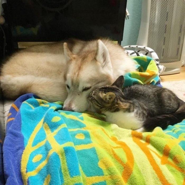 Котенок  Гав: как хаски кошку воспитали