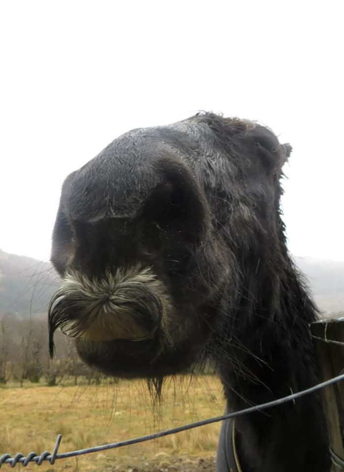 At The Weekend I Came Across A Horse With A Moustache. I Named Him Moustachio
