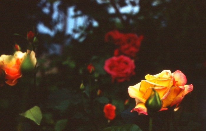 Прекрасные розы.