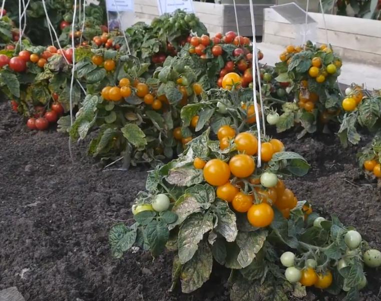 Штамбовые томаты – томаты для ленивых