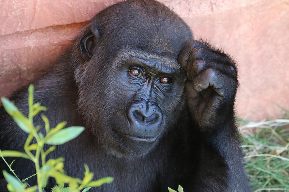 Горилла – самая крупная человекообразная обезьяна