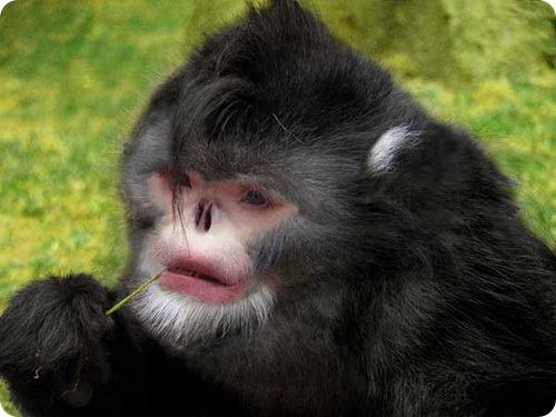 Чихающие обезьяны найдены в Мьянме