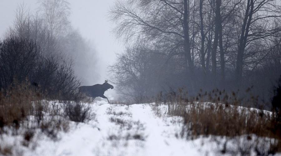 Дикая жизнь На стороне украинской территории ученые установили 45 камер, данные с которых позволили понять истинные размеры популяции местной фауны. Леса Чернобыля напоминают пасторальную картинку из учебника по биологии: дикие кабаны, волки, косули и лисицы чувствуют себя здесь совершенно прекрасно.
