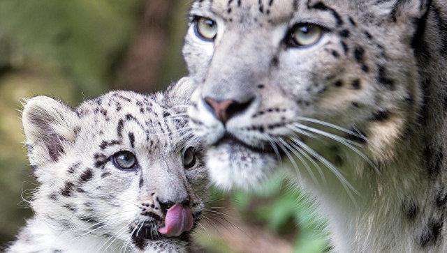 В Московском зоопарке впервые родились снежные барсы