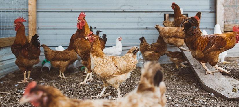Россельхознадзор запретил ввоз птицы из ряда стран ЕС