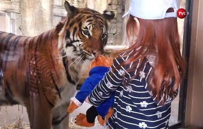 Тигр попытался стащить игрушку у девочки в зоопарке в США