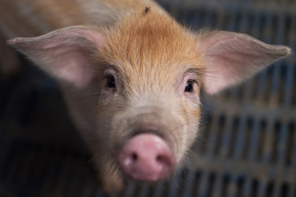 Dutch startup Meatable is developing lab-grown pork and has $10 million in new financing to do it