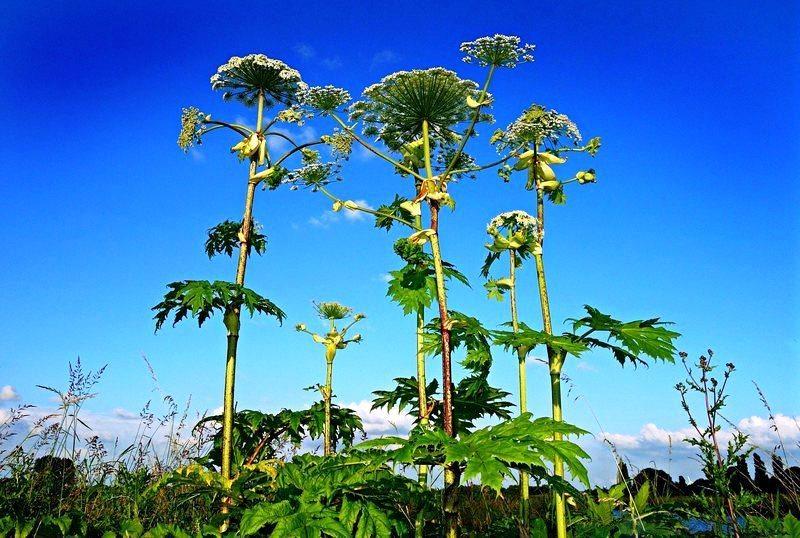 Как профессионалы борются с одним из самых опасных в мире растений
