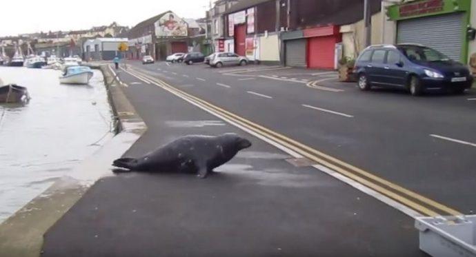 Тюлень Сэмми каждый день выходит на сушу, переползает дорогу и направляется прямиком в рыбный ресторан