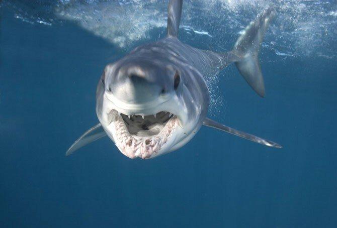 Есть такое хобби - акул фотографировать