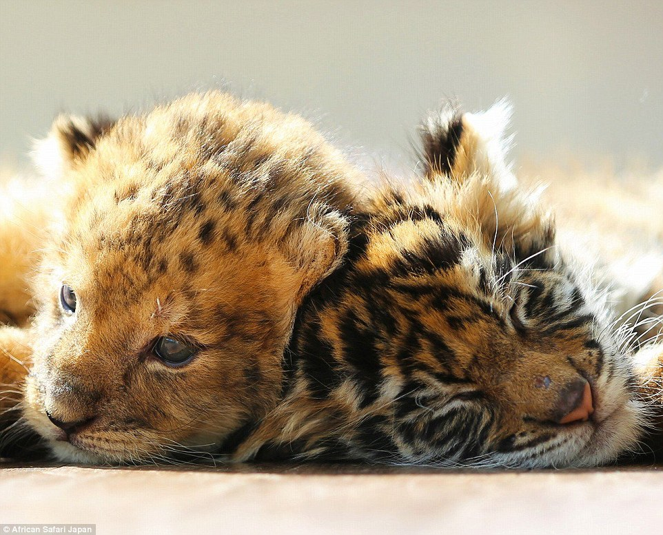 Staff at the park remarked on Twitter how while it's young, the lion cub looks more like a leopard in this photograph
