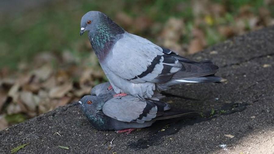 А как птицы сексом занимаютс…