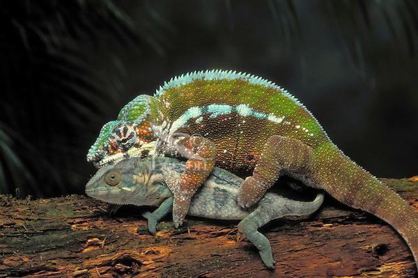 Хамелеоны Мадагаскара быстро живут и умирают после спаривания животные, факты, фото