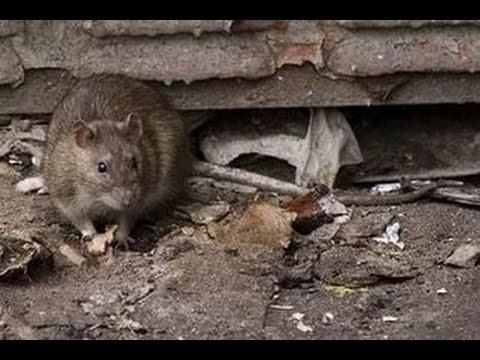 Дикая крыса напала на кота / Rat attacks and bites cat