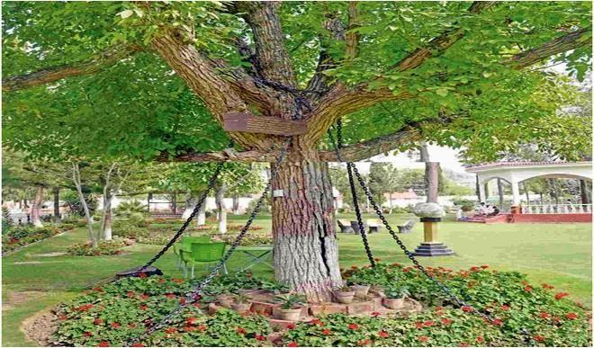 Дереву дали пожизненное