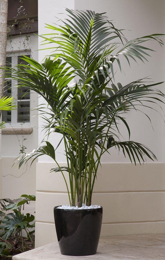 Комнатные пальмы - лучшие виды