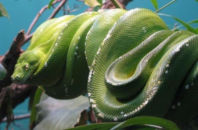 Зелёная анаконда