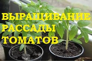 Выращивание рассады томатов.