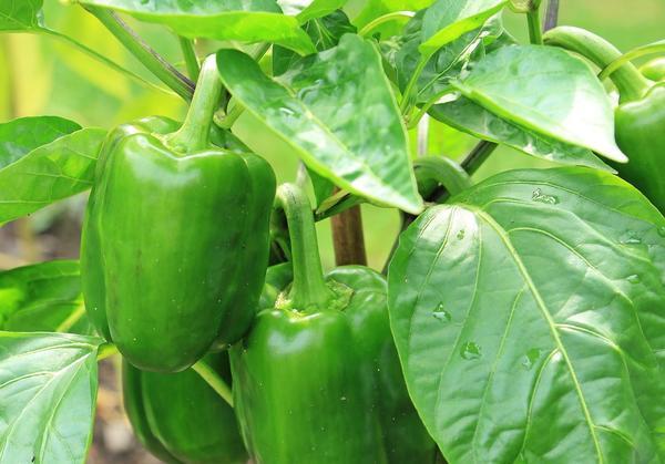 Перец - взыскательное растение