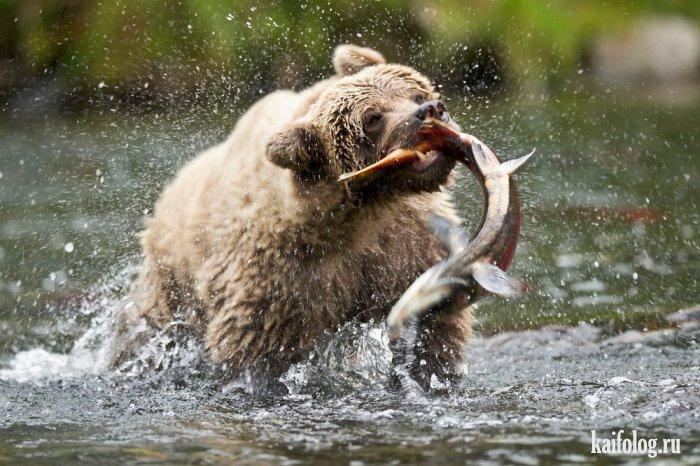 как дикий медведь ловит рыбу