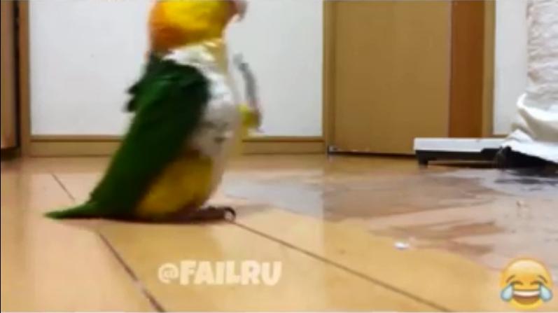 Попугай марширует