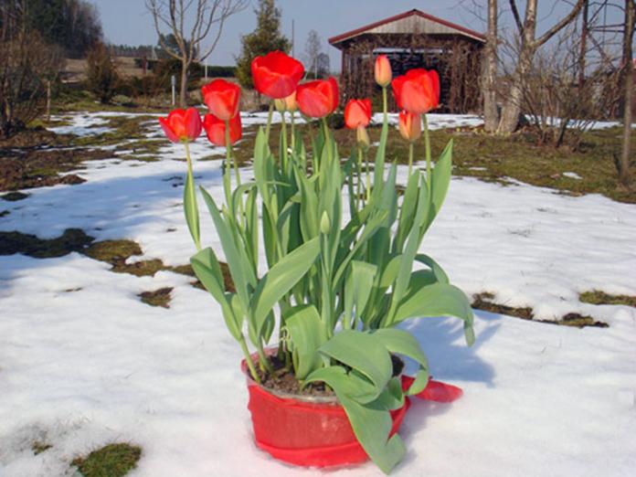 Как сделать выгонку лилии - Gallery-Oskol.ru