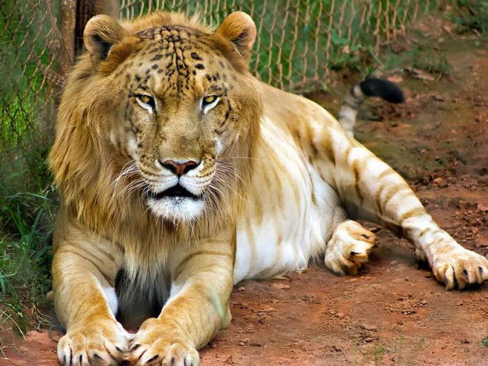 18 гибридных животных, чьи родители пошалили не с теми зверьми