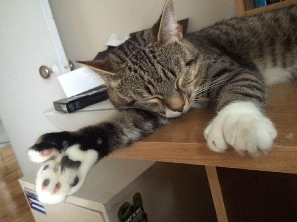 Мужчина забрал из приюта кота с огромными лапами, не подозревая что тот навсегда изменит его жизнь