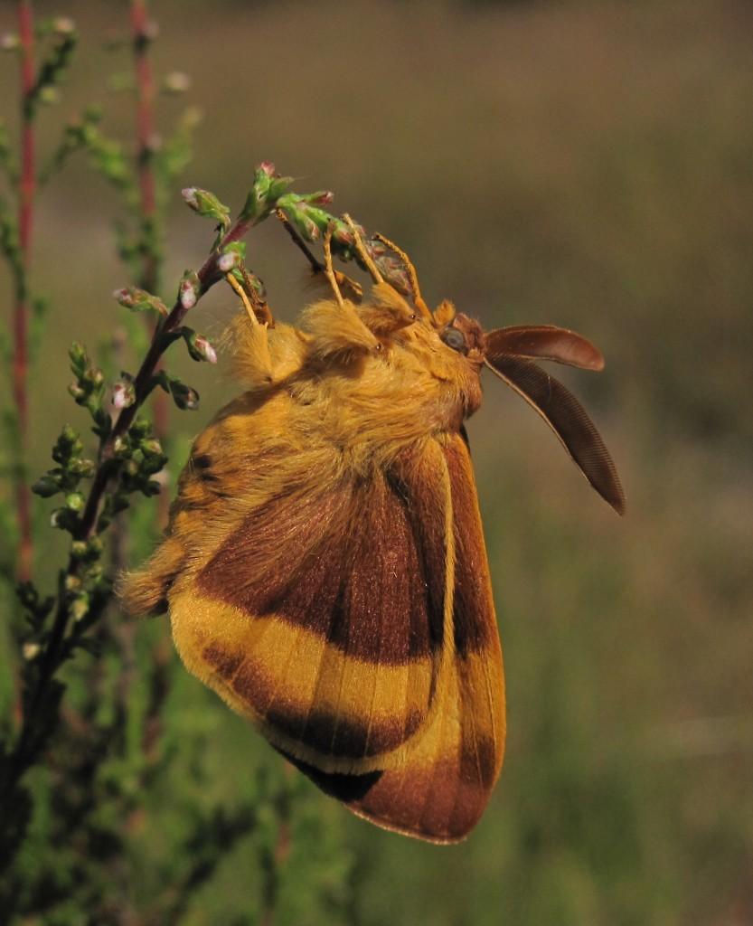 Бабочка в мехах