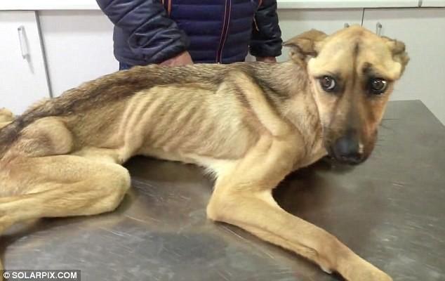 На грани смерти: невероятное восстановление истощённой собаки, которая даже не могла стоять
