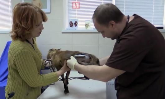 В Краснодаре зоозащитница спасла лисенка с притравочной станции