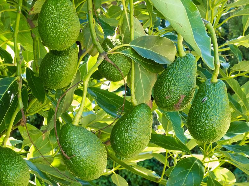 как помочь авокадо дозреть