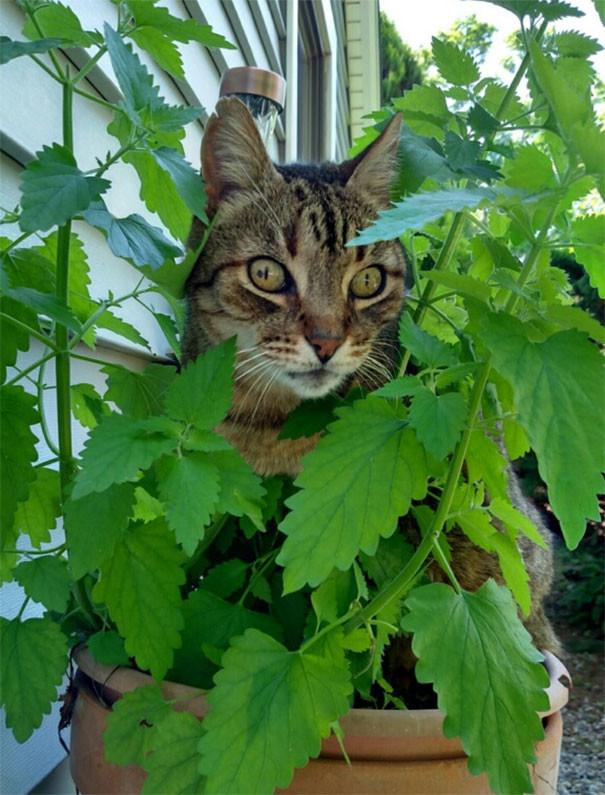 В зарослях счастья животные, забавно, изменение сознания, кошачья мята, кошки, растения, смешно, фото