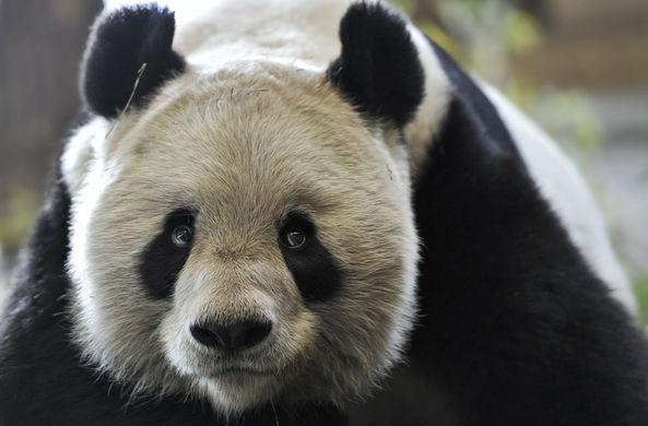 Ученые из Китая создали базу данных панд