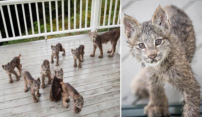 Необычные гости: К жителю Аляски «наведались» сразу семеро детенышей рыси
