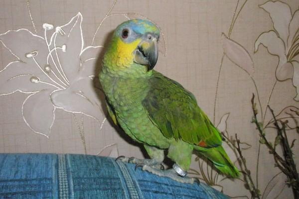 «Продам попугая»: объявление…