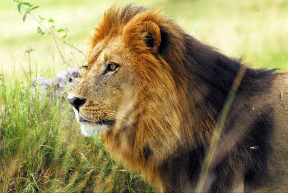 Наблюдение за львом, который  собирался напасть на импалу