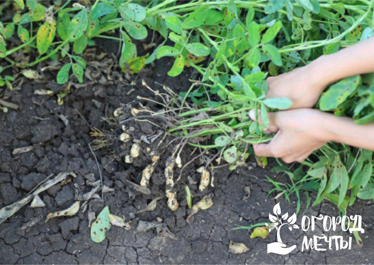 Особенности выращивания арахисовых бобов