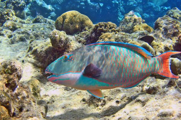 Рыба-попугай: украшение кора…