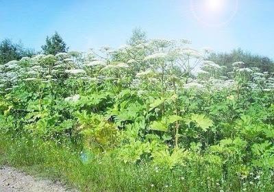 Как победить пять самых живучих сорняков